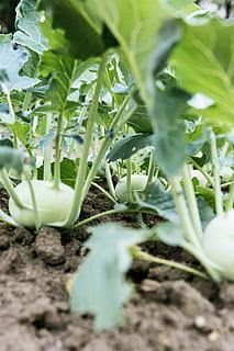 kohlrabi-garden-cultivation-rearing-self-catering-urban-gardening-thumbnail
