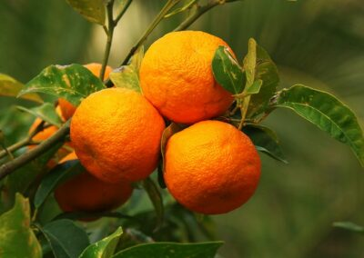 Three Bitter oranges - Citrus × aurantium